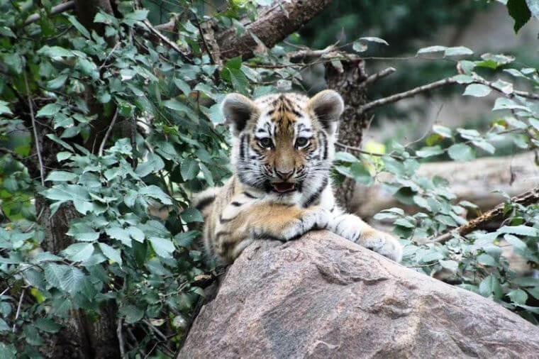 Tigerjungtier