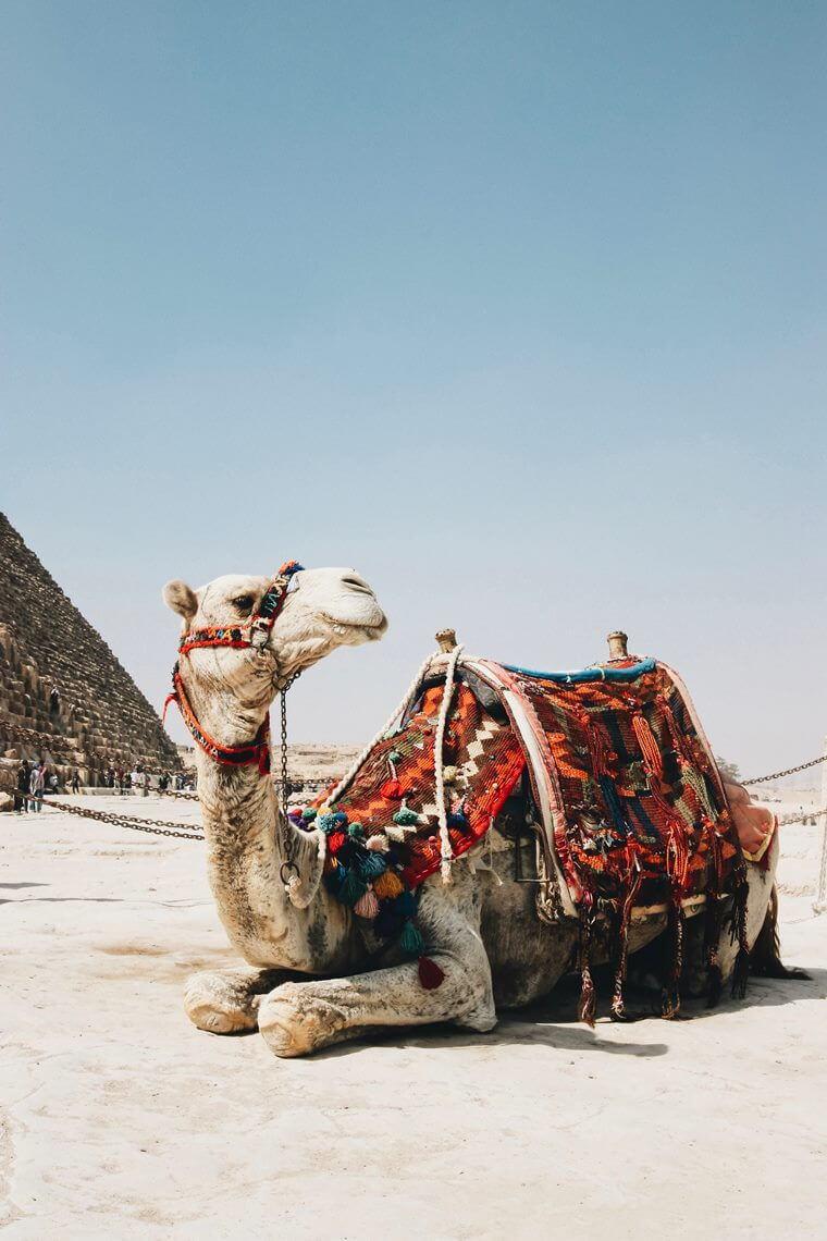 Ägypten, Kamel